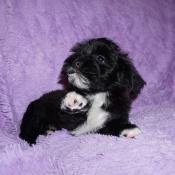 Black pied Havanese puppy named Max at 10 weeks old