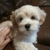 Cream Havanese girl puppy named Snuggles at 9 weeks old