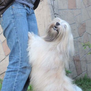 AKC Havanese Grand Champion - Gilwoods Lord of the Rings