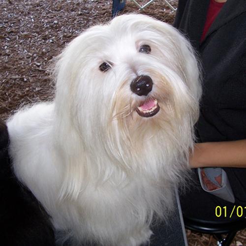 AKC Havanese Champion Zorro takes a break at the dog show