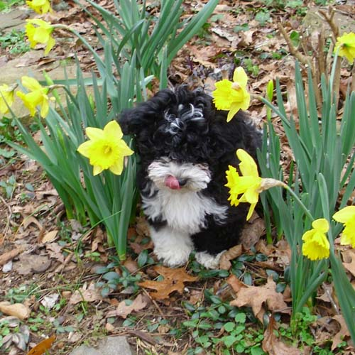 Havanese puppy Abra hangs out in the flowers
