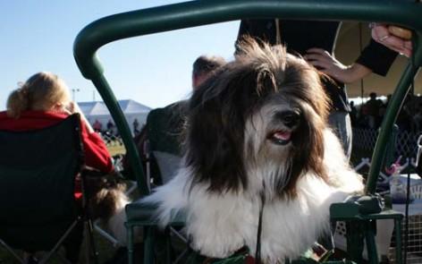 Havanese taking a break at an AKC dog show