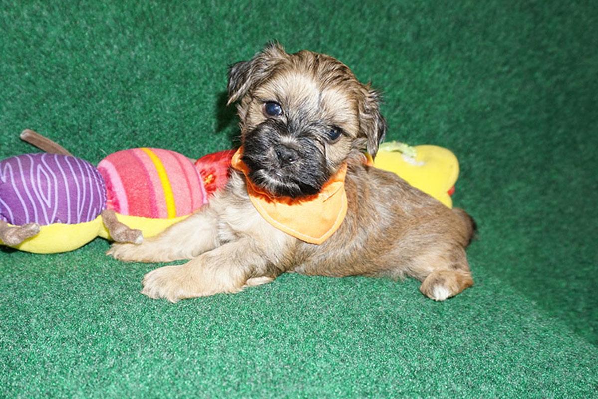 Havanese puppy Desi at 5 weeks