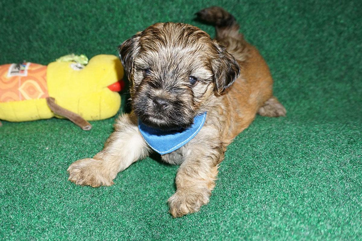 Havanese puppy Diego at 5 weeks