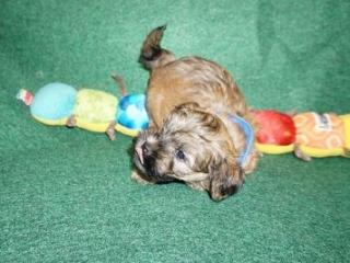 Havanese puppy Diego at 7 weeks