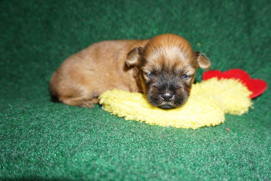 Havanese puppy Fabio at 3 weeks old