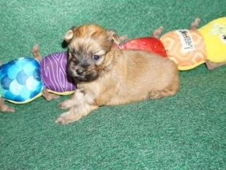 Havanese puppy Fabio at 4 weeks