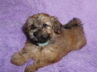 Havanese puppy Fabio at 8 weeks