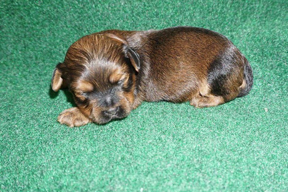 Havanese puppy Felix at 3 weeks old