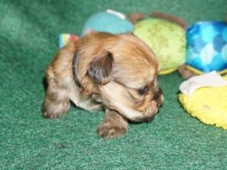Havanese puppy Fernando at 4 weeks