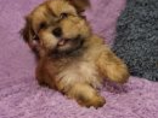 Havanese puppy Fernando at 8 weeks