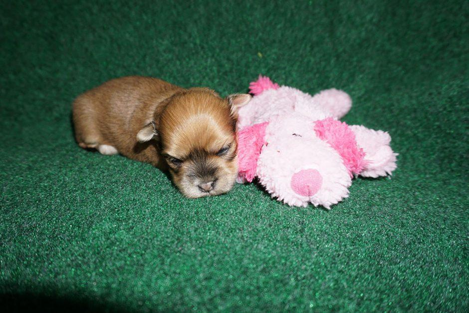 Havanese puppy Fiesta at 3 weeks old