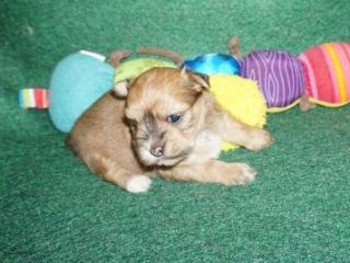 Havanese puppy Fiesta at 4 weeks