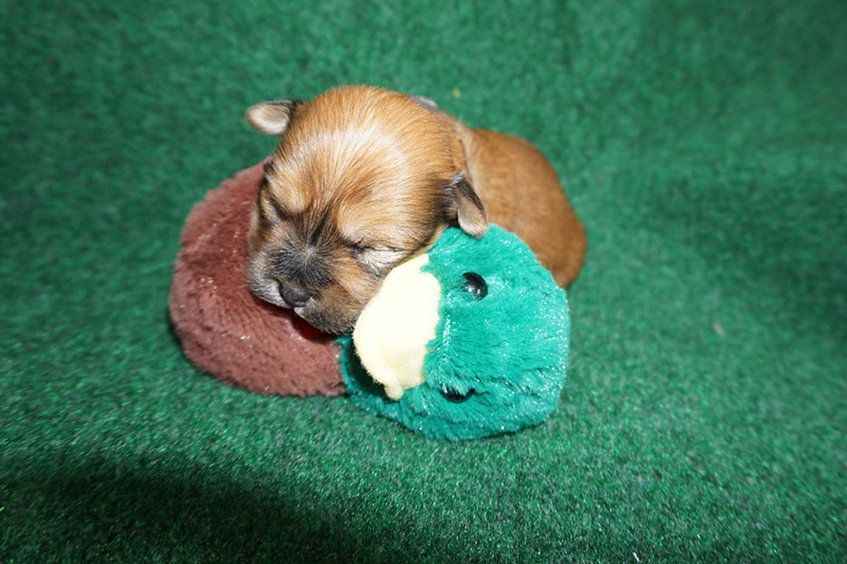 Havanese puppy Fito at 3 weeks old