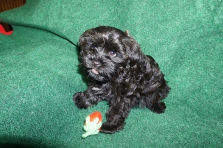 19 pics of black Havanese puppy Holly at 10 weeks