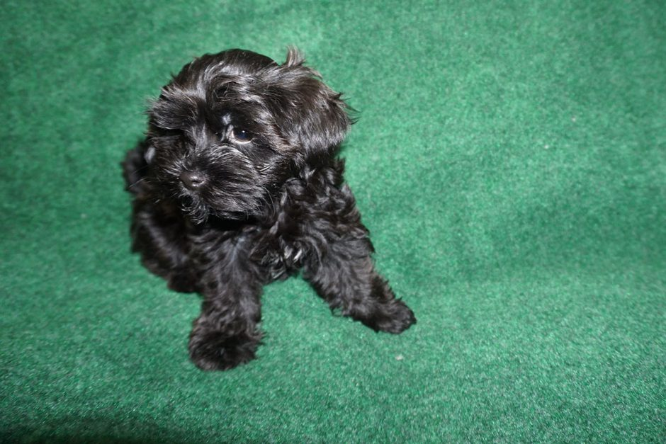19 pics of Holly - black Havanese puppy
