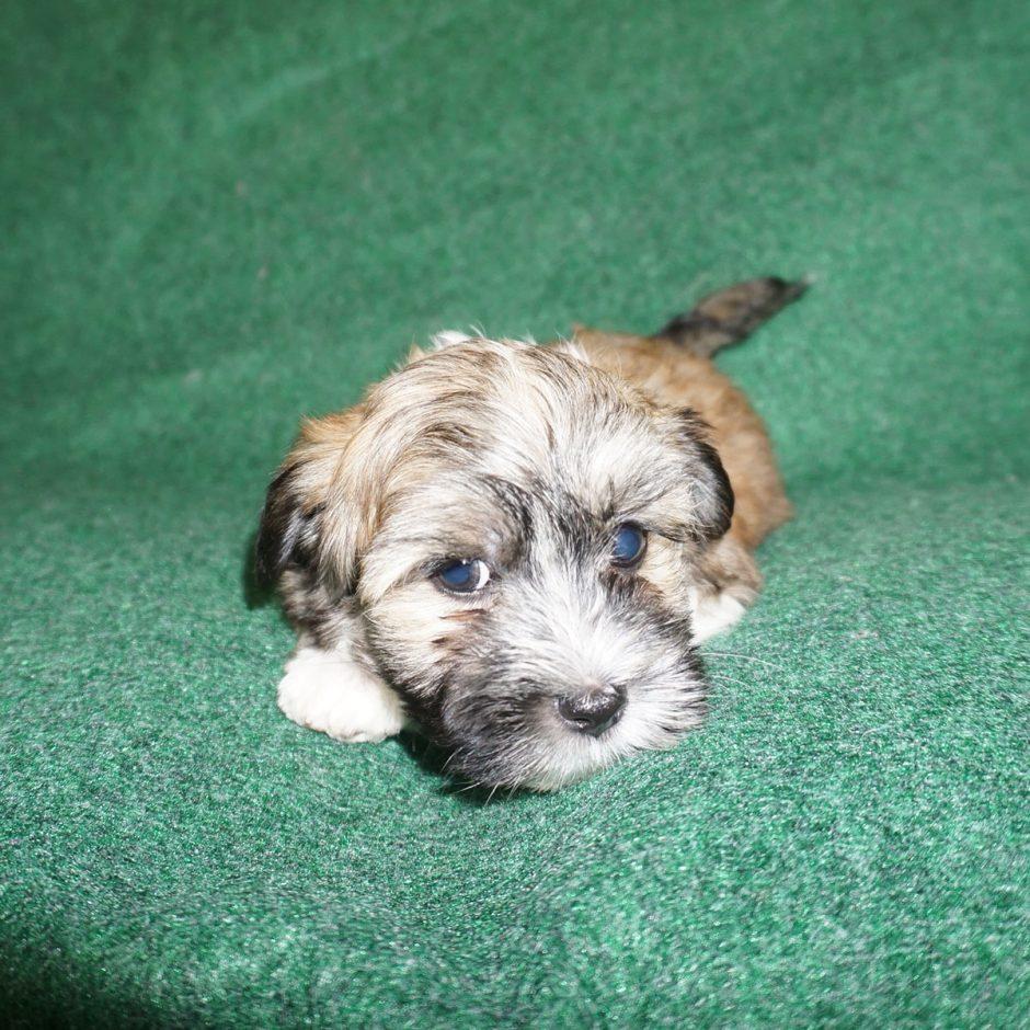Rusty - red Havanese puppy