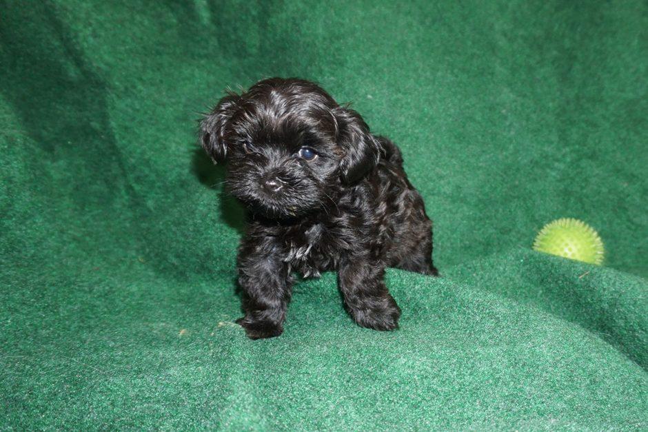 Holly - black Havanese girl at 6 weeks