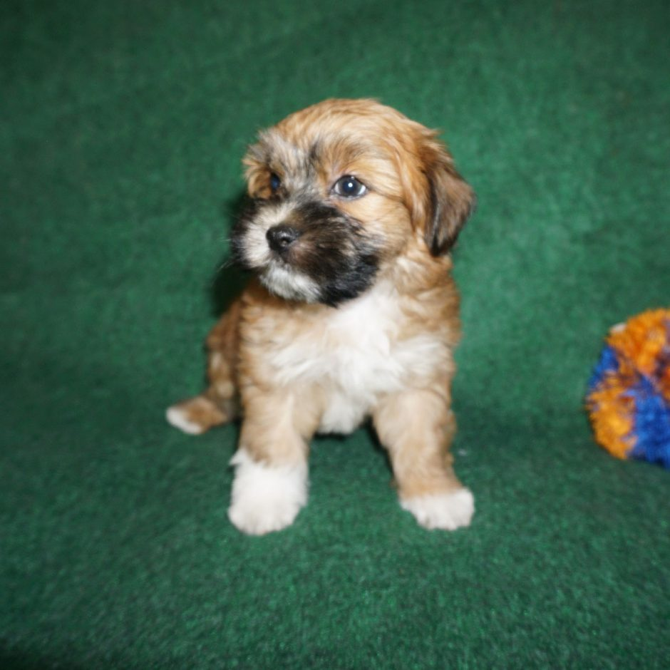 Clifford - red Havanese puppy
