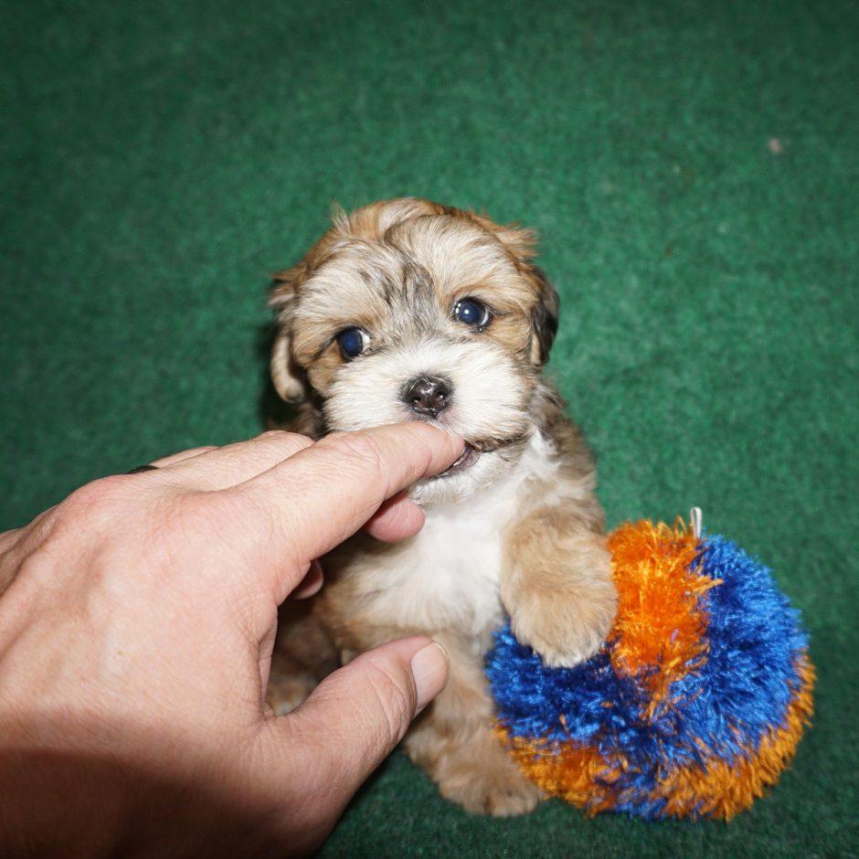 Rojo - sable Havanese puppy